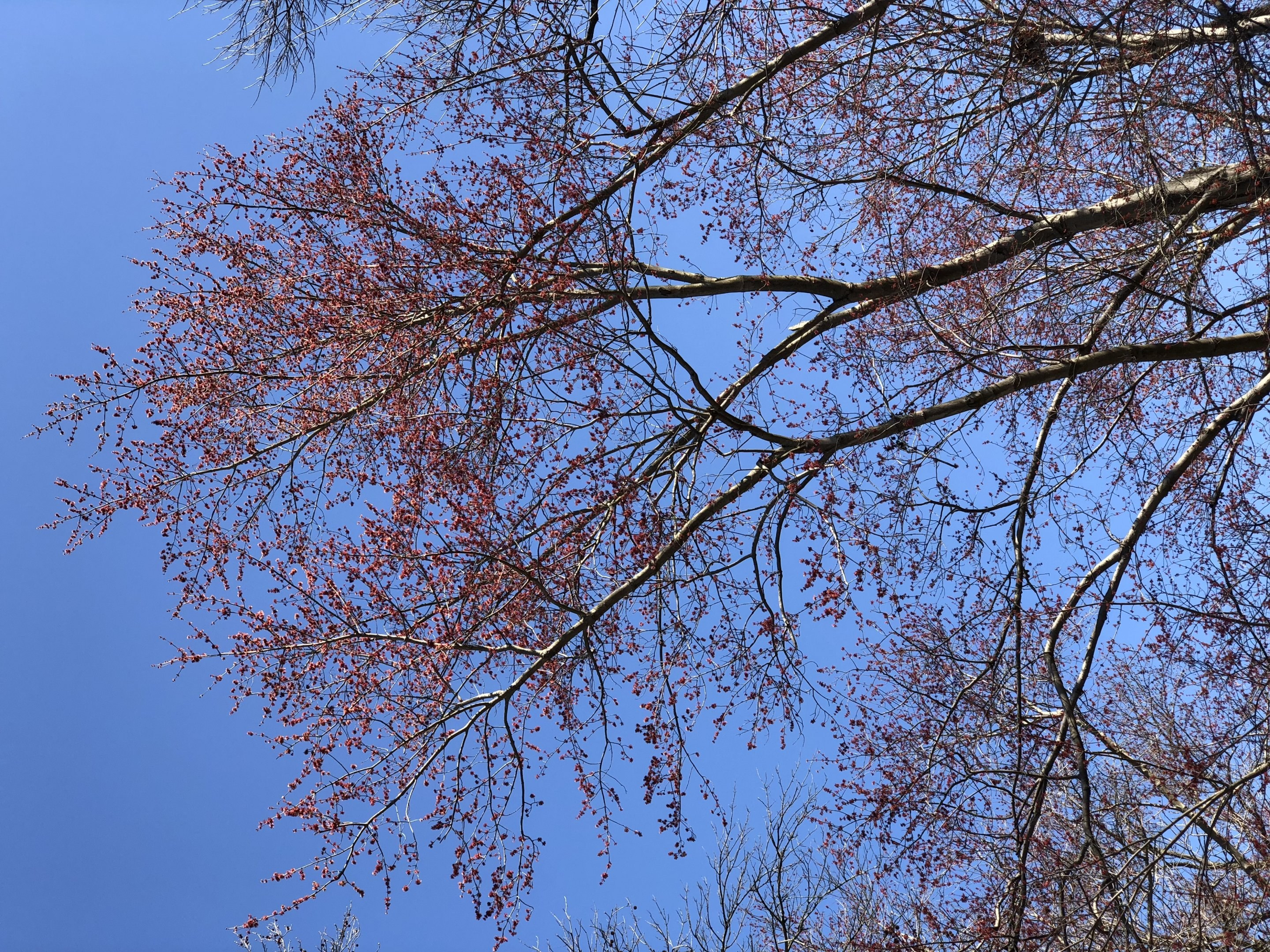 2020 03 16 11 04 18 A Red Maple blooming along Terrace Boulevard in Ewing Township Mercer County New Jersey