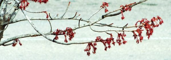 Swamp (red) Maple in Bloom